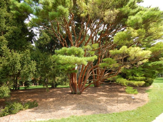 Tanyosho Pine-Japanese Red Fir