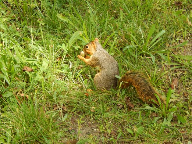 This little fellow wouldn't gie me his name. He had a mouthful of acorn.