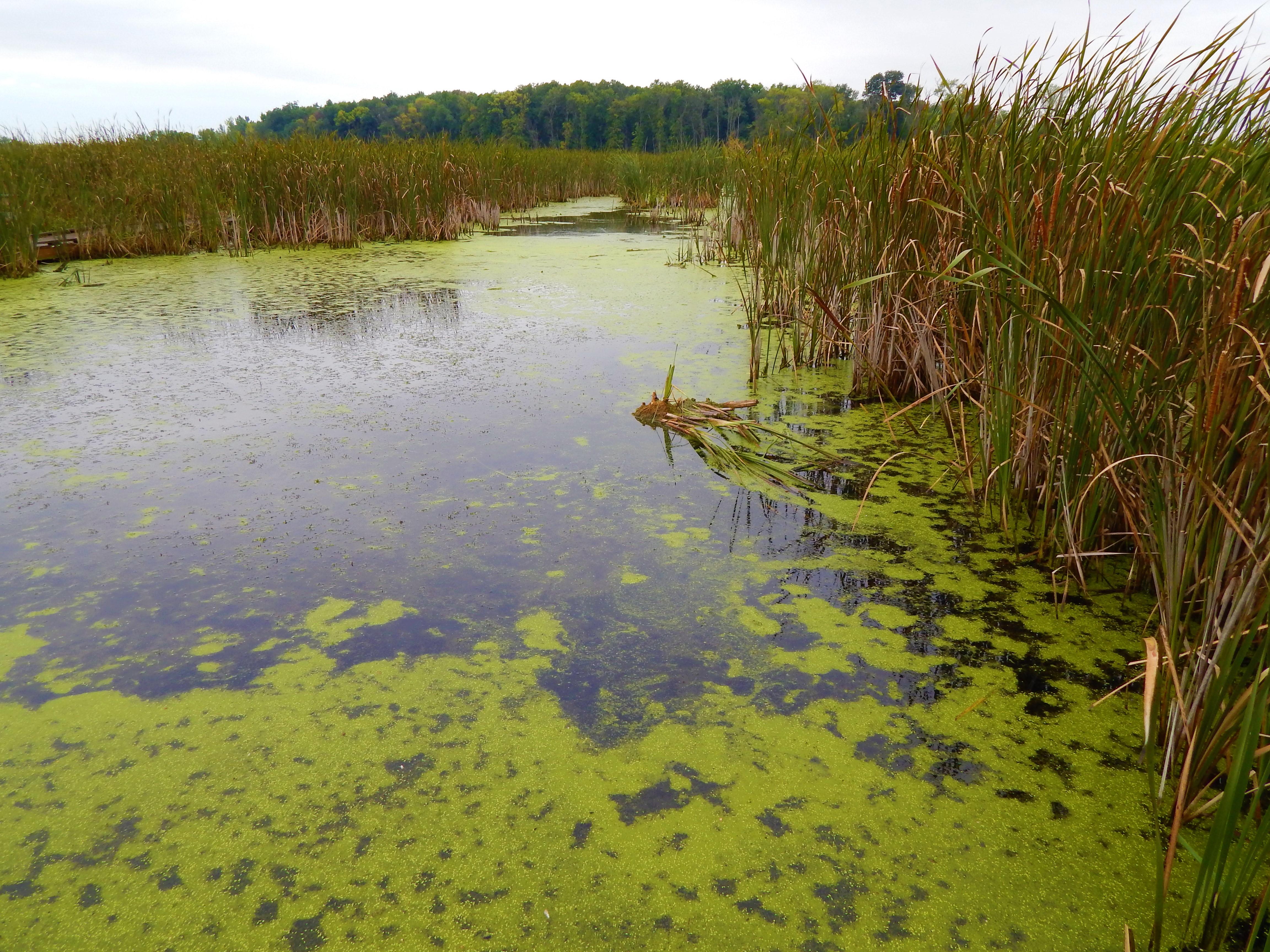 Horicon Marsh - photosynthetic algae ©Ann Johnson Kingdom Venturers